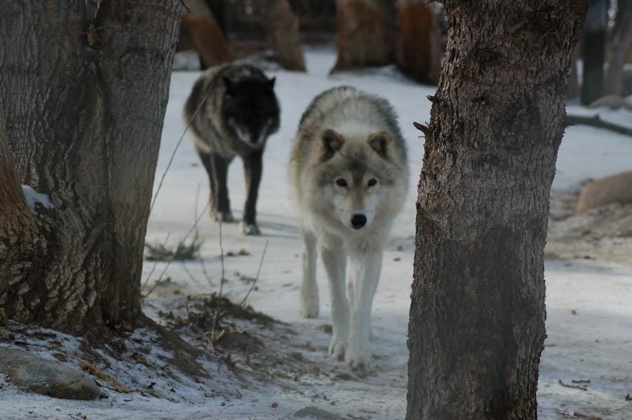 Two Wolves: A Parable on the Care and Feeding of the Hopeful Mindset